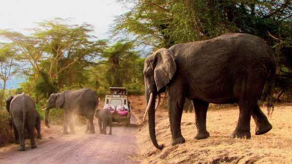 A herd of elephants cross the road behind a jeep in East Africa