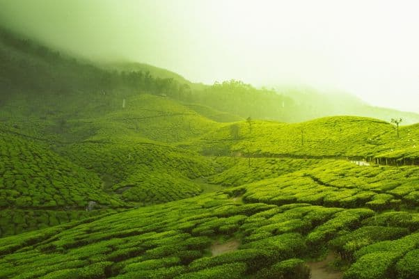 A misty view of rolling hills planted with tea in Kerala